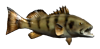 Sand Bass